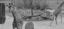 Let's Design a Gazebo: Cincinnati Zoo & Botanical Garden Giraffe Ridge