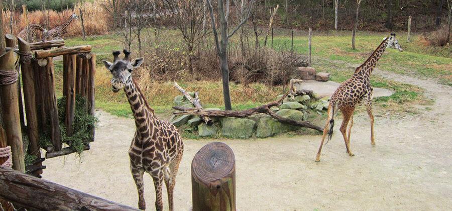 Giraffe-Gazebo-3